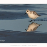 Becasseaux_sanderling_22_01_2017_014-border