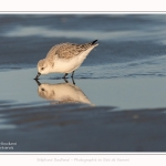 Becasseaux_sanderling_22_01_2017_015-border
