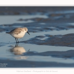 Becasseaux_sanderling_22_01_2017_016-border