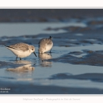 Becasseaux_sanderling_22_01_2017_017-border