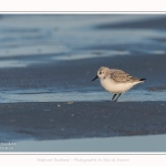 Becasseaux_sanderling_22_01_2017_018-border