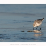 Becasseaux_sanderling_22_01_2017_019-border