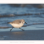 Becasseaux_sanderling_22_01_2017_021-border