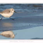 Becasseaux_sanderling_22_01_2017_022-border
