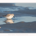 Becasseaux_sanderling_22_01_2017_023-border