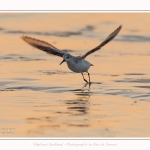 Becasseaux_sanderling_22_01_2017_024-border