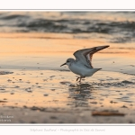 Becasseaux_sanderling_22_01_2017_025-border