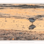 Becasseaux_sanderling_22_01_2017_026-border