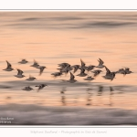 Becasseaux_sanderling_22_01_2017_027-border