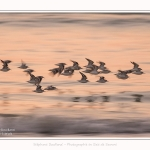 Becasseaux_sanderling_22_01_2017_028-border