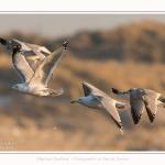 Goeland_22_01_2017_001-border