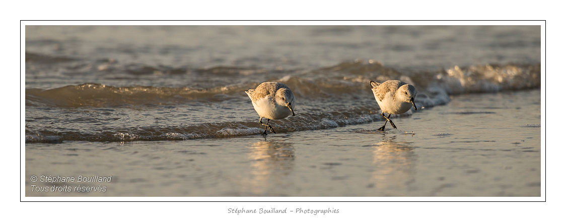 Bécasseau sanderling ( Calidris alba - Sanderling) qui courrent sur la plage en limite des vagues. Saison : Hiver - Lieu :  Fort-Mahon, côte Picarde, Somme, Picardie, France