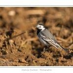 Bergeronnette grise dans un champ fraichement labourré en fin d'hiver. Saison : hiver - Lieu : Nouvion-en-Ponthieu, Somme, Picardie, France