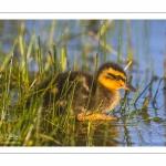 canetons de Canard colvert (Anas platyrhynchos - Mallard)