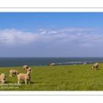 Les moutons sur le site du Cap Gris-Nez