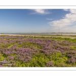 lilas de mer (statices sauvages) le long du chenal de la Somme