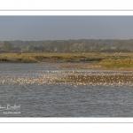 Rassemblement d'oiseaux lors de la marée montante