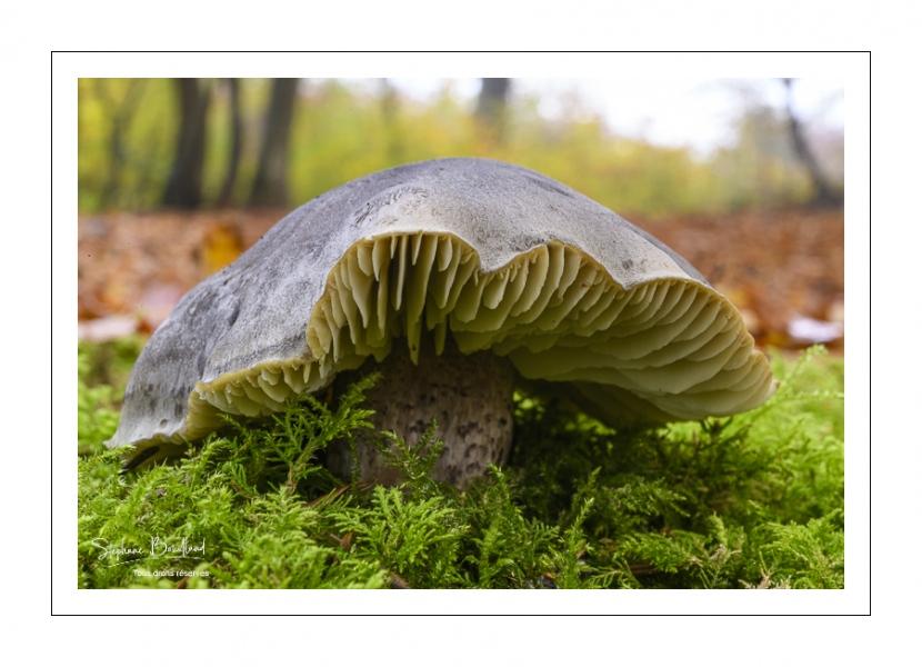 Tricholoma saponaceum var squamosum (Tricholome savonneux, Tricholome à odeur de savon)