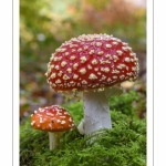 Amanite tue-mouches (Amanita muscaria)