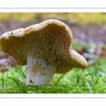 Hydnum ellipsosporum (Hydne à spores elliptiques, Hydnum rufescens, Hydnum repandum possible, Pied-de-mouton)