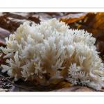 Clavulina cristata (Clavaire à crêtes)