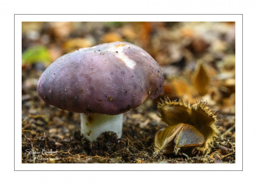 Russule charbonnière (Russula cyanoxantha)