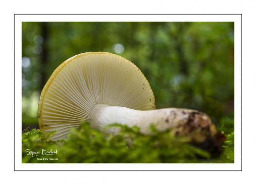 russula ochroleuca (russule ocre et blanc)