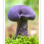 Cortinarius violaceus (Cortinaire violet )