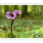 Laccaria amethystina (Laccaire améthyste, Clitocybe améthyste)