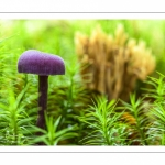Laccaria amethystina (laccaire améthyste)