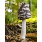 Coprinus picaceus (Coprin noir et blanc, Coprin Pie, Coprinopsis picacea)