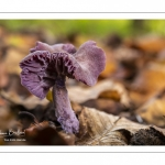 Laccaire améthyste (Laccaria amethystina)