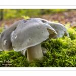 Tricholome à odeur de savon (Tricholoma saponaceum)