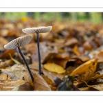 Marasme à odeur d'ail (Marasmius alliaceus , Mycetinis alliaceus)