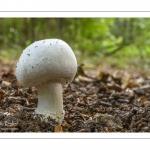 France, Somme (80), Crécy-en-Ponthieu, Forêt de Crécy, Champignon, Agaricus sp. // France, Somme (80), Crécy-en-Ponthieu, Forêt de Crécy, Mushroom, Agaricus sp.