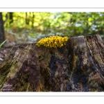 Fuligo septica (Fleur de tan)