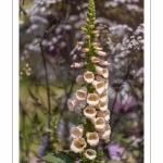 Digitale (Digitalis) - Journées des Plantes de Chantilly