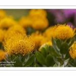 Leucospermum cordifolium Cooper Carnival - Journées des Plantes de Chantilly