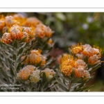 Leucospermum cordifolium Mardi Gras - Journées des Plantes de Chantilly