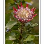 Protéa Cynaroïde Little Prince - Journées des Plantes de Chantilly