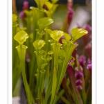 Sarracenia flava, plante carnivore - Journées des Plantes de Chantilly