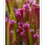 "Sarracenia ""Juthatip Soper"" - Journées des Plantes de Chantilly"