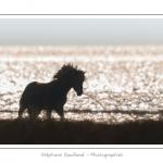 Une jeune fille travaille au débourrage de son cheval Henson, dans les mollières. La race Henson a été développée en Baie de Somme - Saison : Hiver - Lieu :  Plages de la Maye, Le Crotoy, Baie de Somme, Somme, Picardie, France