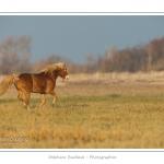 Après une séance de travail avec sa cavalière, cet étalon Henson profite de gambader en liberté dans les mollières de la Baie de Somme. La race Henson a été développée en Baie de Somme - Saison : Hiver - Lieu :  Plages de la Maye, Le Crotoy, Baie de Somme, Somme, Picardie, France