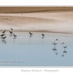 A marée basse, les oiseaux viennent se nourrir de vers dans un marigot en baie de Somme - Saison : Printemps - Lieu : Cap Hornu, Saint-Valery, Baie de Somme, Somme, Picardie, France