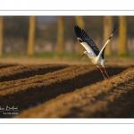 Nidification des Cigognes blanches (Ciconia ciconia - White Stork)