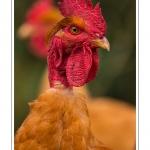 """Poulets de race """"Cou-nu"""". - Poulets (Poules et coqs) de chair dans un élevage traditionnel """"bio"""" à la ferme. Saison : automne - Lieu : Osnes, Carignan, Ardennes (08), Champagne-Ardennes, France"""