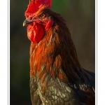 """Poulets (Poules et coqs) de chair dans un élevage traditionnel """"bio"""" à la ferme. Saison : automne - Lieu : Osnes, Carignan, Ardennes (08), Champagne-Ardennes, France"""