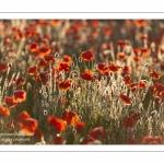 Champ de coquelicots - Baie de Somme