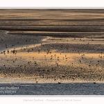 Rassemblement d'oiseaux (Huitriers-pies, Courlis, Tadornes de Belon et bécasseaux) face au Crotoy au crépuscule - Saison : Hiver - Lieu : Le Crotoy, Baie de Somme, Somme, Picardie, Hauts-de-France, France. Gathering of birds (hawksbills, curlews, shelducks and sandpipers) in front of Le Crotoy at twilight - Season: Winter - Location: Le Crotoy, Somme Bay, Somme, Picardie, Hauts-de-France, France.